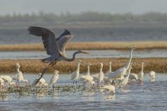 Great Blue Heron low tide  (2620)
