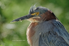 Green Heron head shot  (4050)
