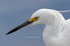 Snowy Egret head shot  (4054)