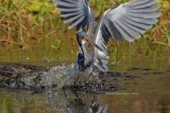 Tricolored Heron  (#4583)
