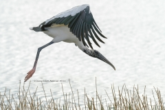 Wood Stork in flight (5510)