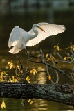"""An Evening Roost""  Great Egret  (#5637)"