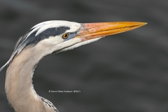 Great Blue Heron head shot  (5667)