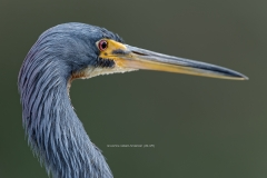 Tricolored Heron head shot   (6109)
