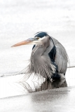 7834 Great Blue Heron  (#7834)