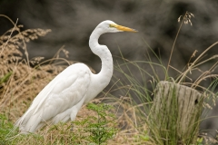 Great Egret by post   (8223)